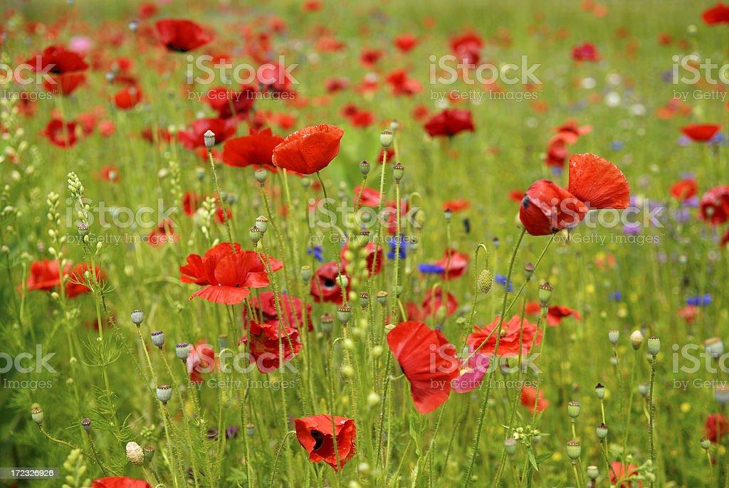 Roadside Poppies royalty-free stock photo