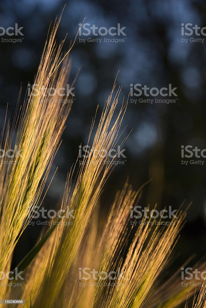 Roadside Wispy Grass at Sunset stock photo