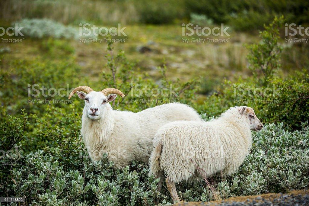 Roaming Icelandic Sheep stock photo