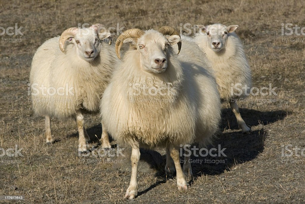 Roaming Sheep royalty-free stock photo