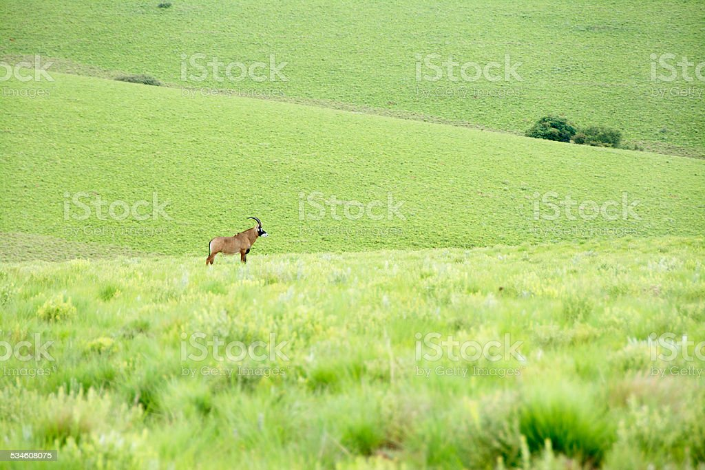 Roan Antelope on the Hills of Nyika Plateau stock photo