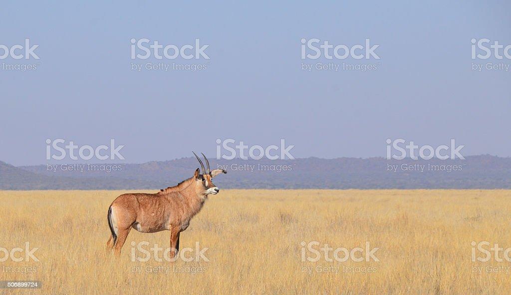 Roan Antelope stock photo
