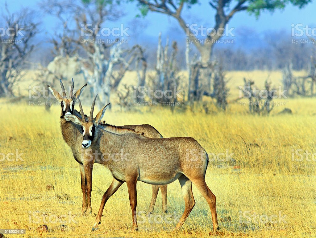 Roan antelopes on the dry plains in Hwange stock photo