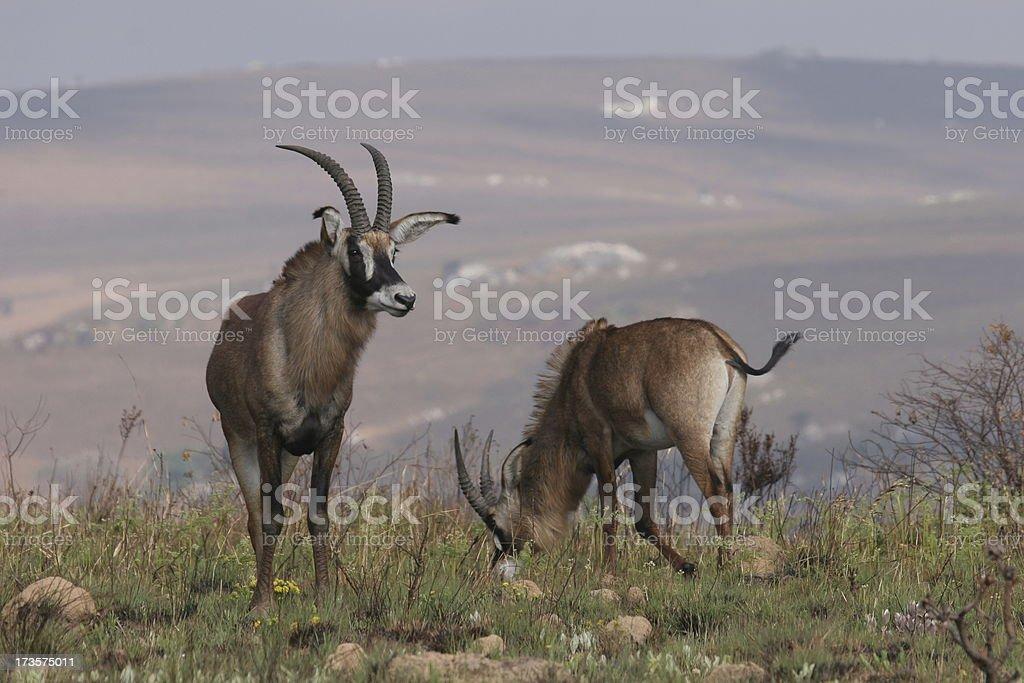Roan antelopes stock photo