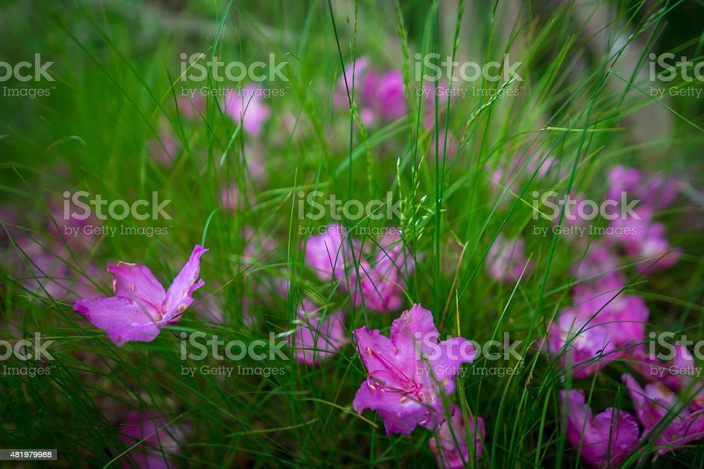 Roan Mountain Spring Rhododenron Blooms 5 stock photo