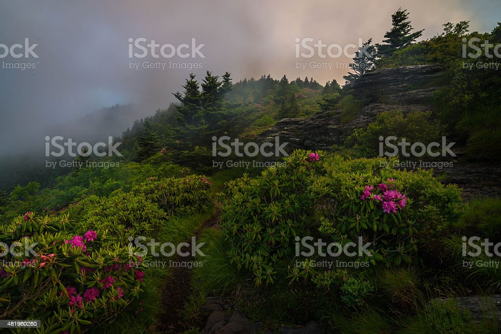 Roan Mountain Spring Rhododenron Blooms stock photo