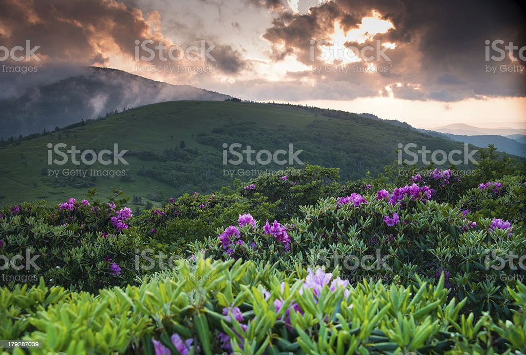 Roan Rhododendron Summer Bloom 2 stock photo