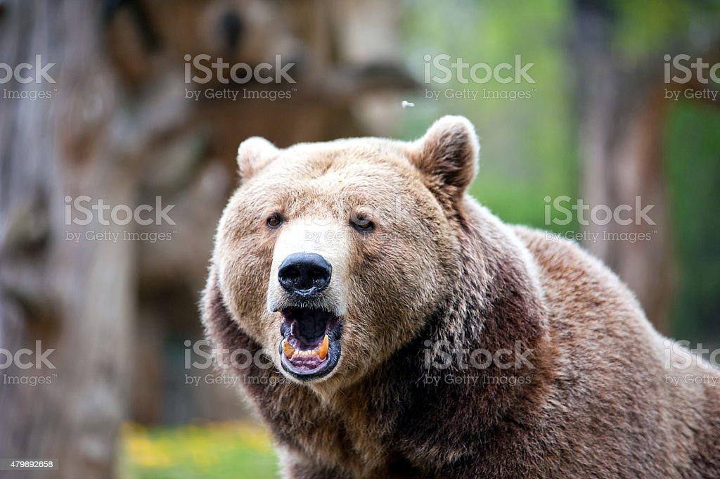 roaring brown bear stock photo