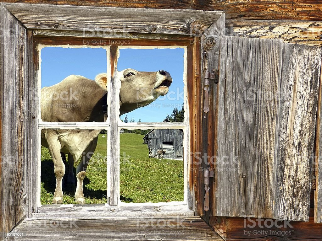 roaring cow in the window of a mountain hut royalty-free stock photo