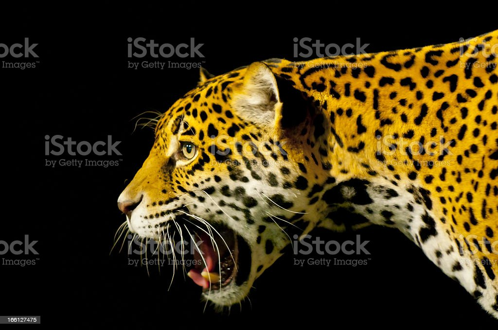 Roaring Jaguar royalty-free stock photo