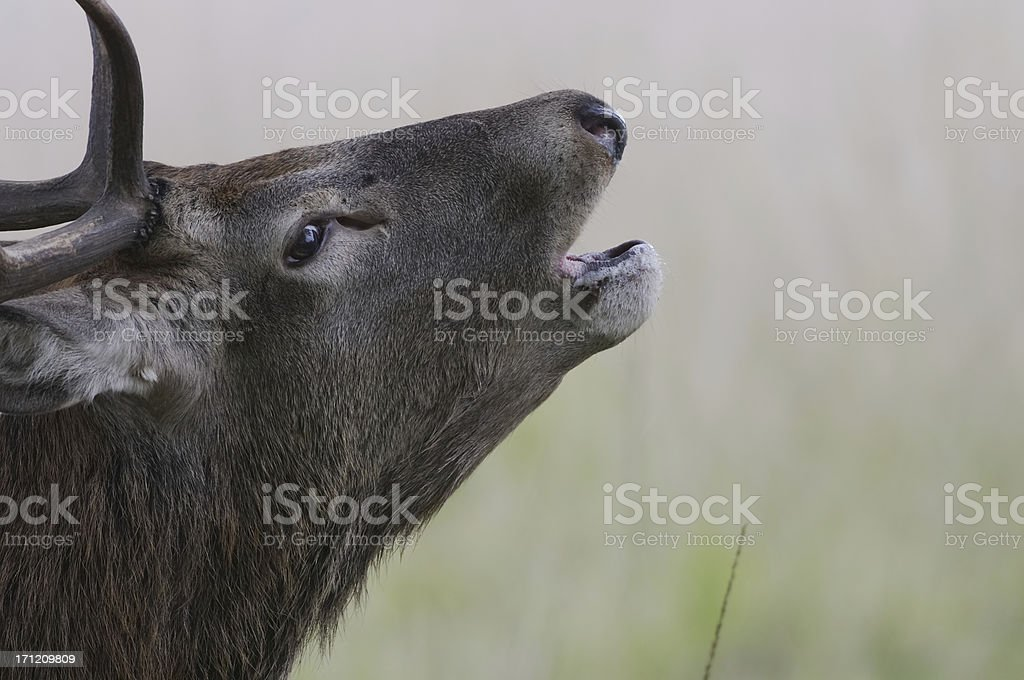 Lonely come and get me! Stag calling royalty-free stock photo