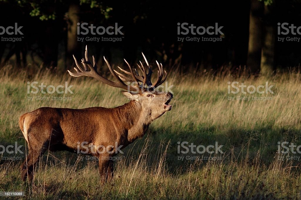 Roaring stag stock photo