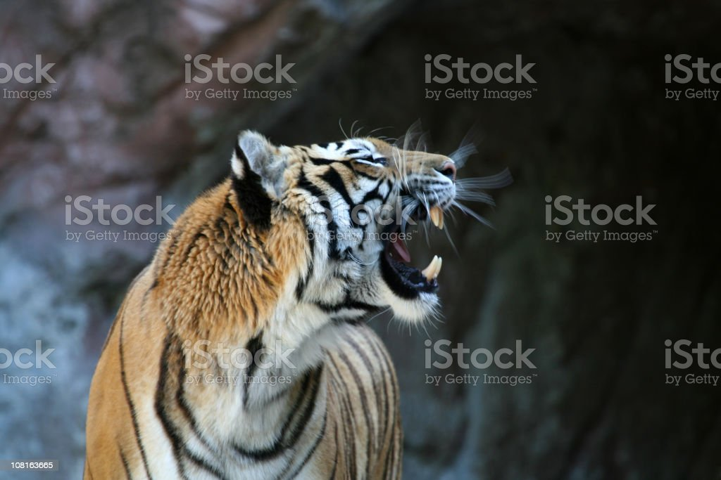 Roaring tiger with motion blur 2 stock photo