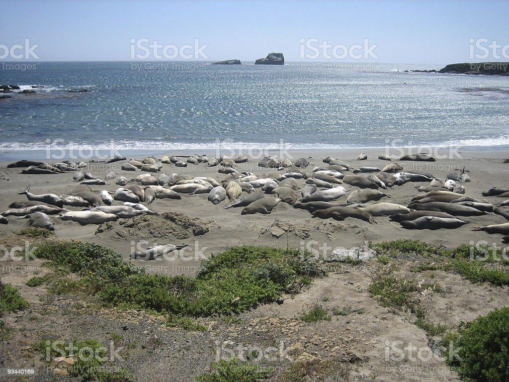 Robben am Strand stock photo