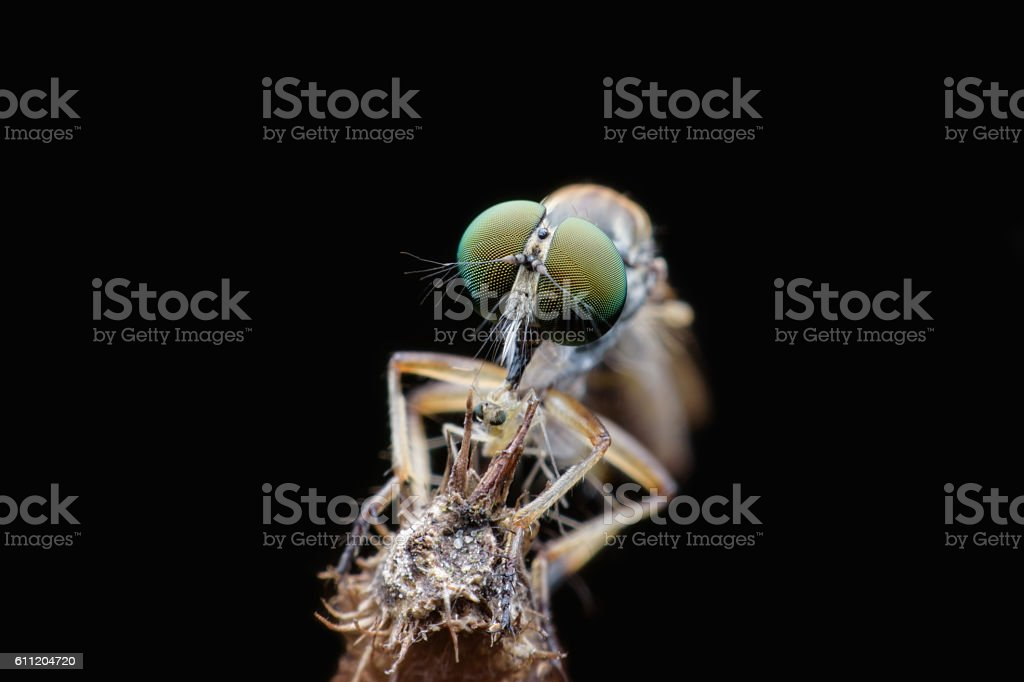 Robber fly eating fly stock photo