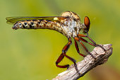 robber fly in Thailand