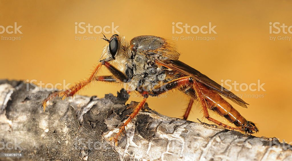 Robber fly is angry royalty-free stock photo