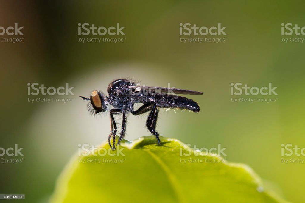 robber fly or assassin fly (asilidae) resting on a leaf stock photo