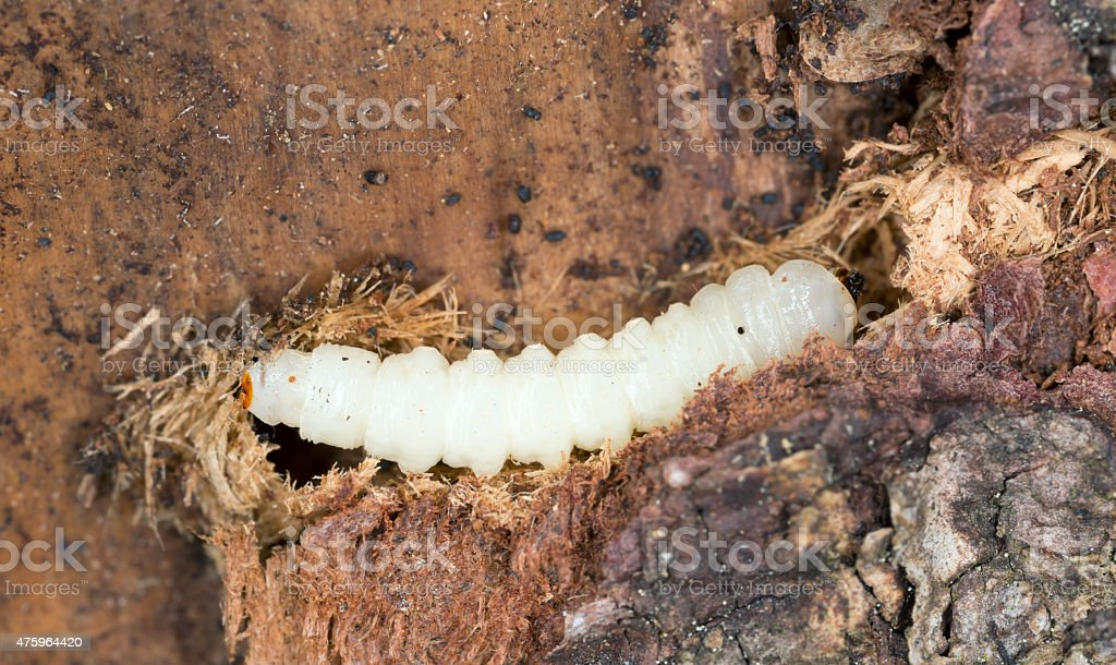 Robber-fly larva in wood stock photo