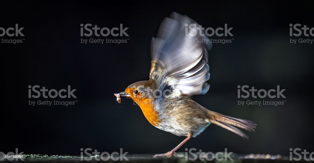 Robin about to take off after picking up a mealworm stock photo