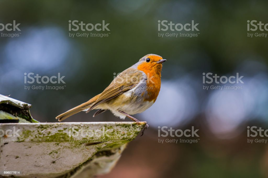 Robin about to take off! stock photo