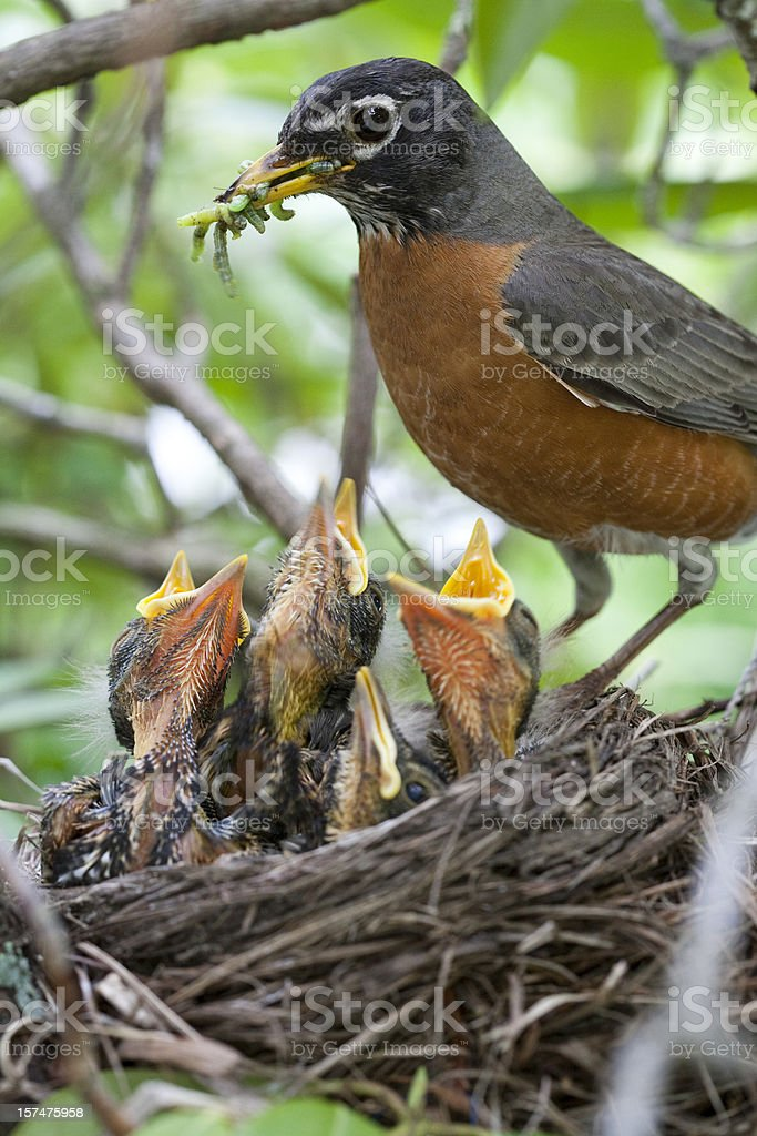Robin and babies in nest stock photo