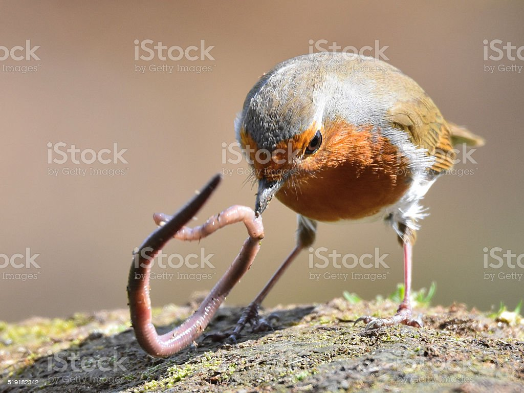 Robin and worm stock photo