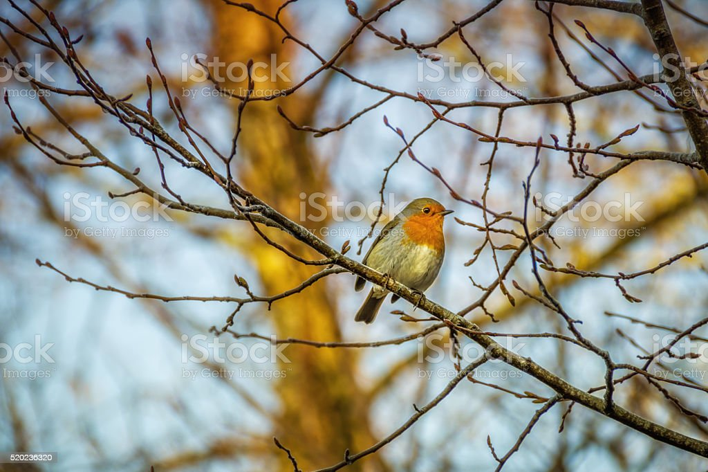 Robin bird perching on a branch in a tree stock photo