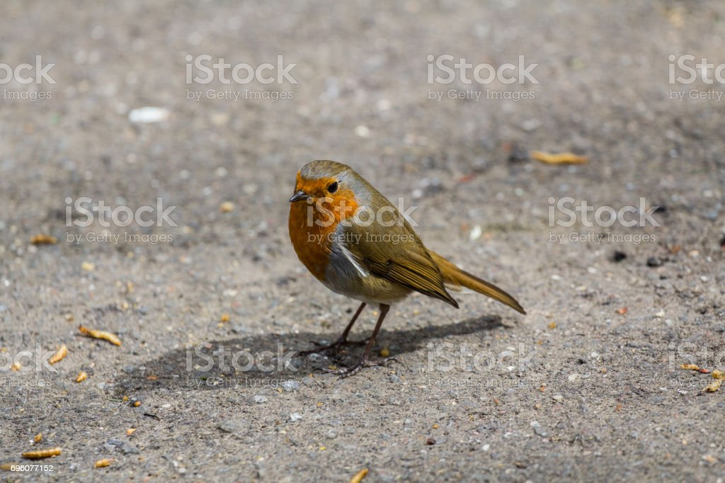 A robin chilling stock photo