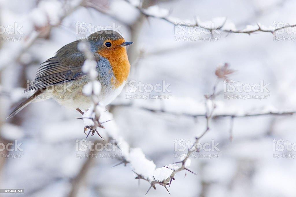 Robin Christmas Card Scene royalty-free stock photo