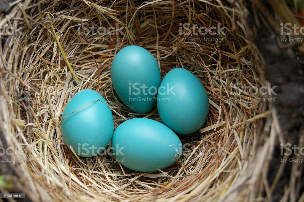 Robin Eggs stock photo
