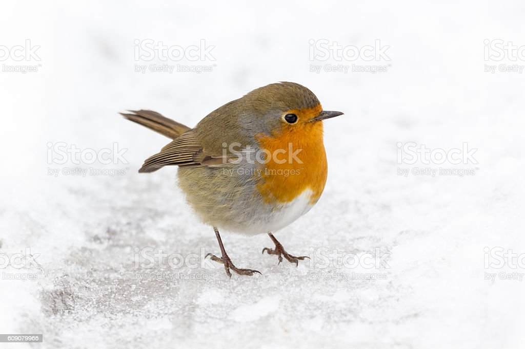 Robin, Erithacus rubecula in snow stock photo