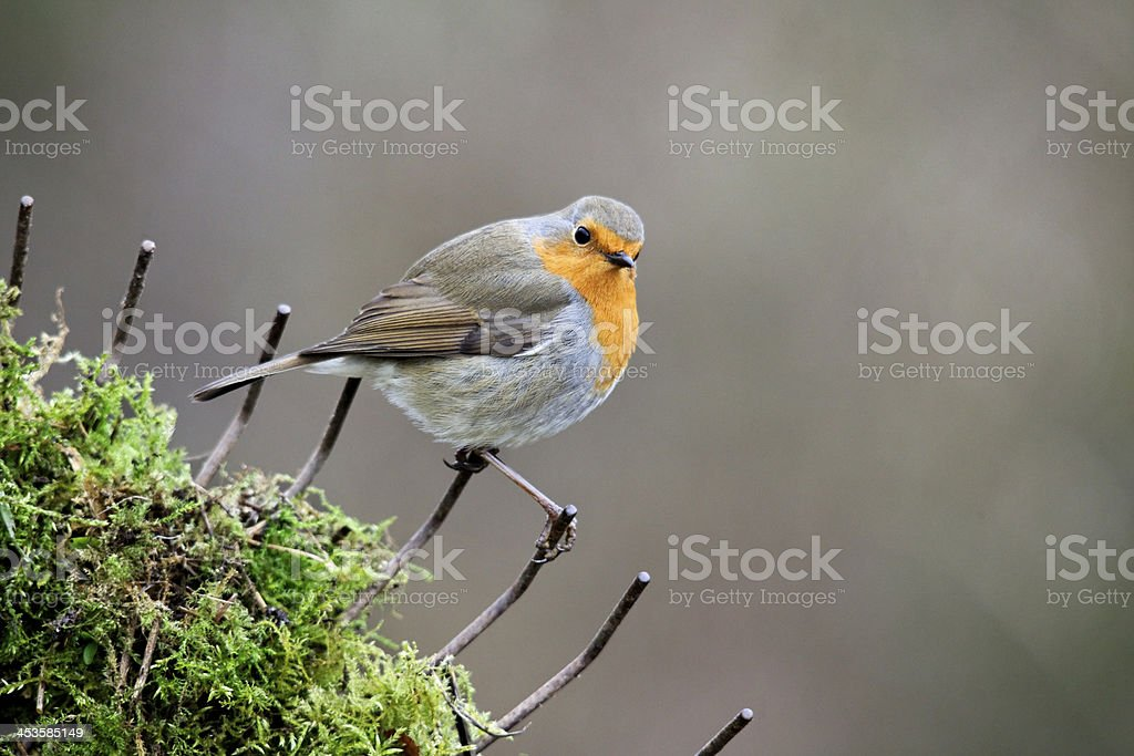 Robin, Erithacus rubecula stock photo