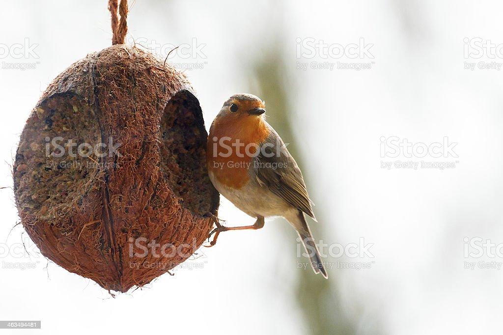 Robin feeding stock photo