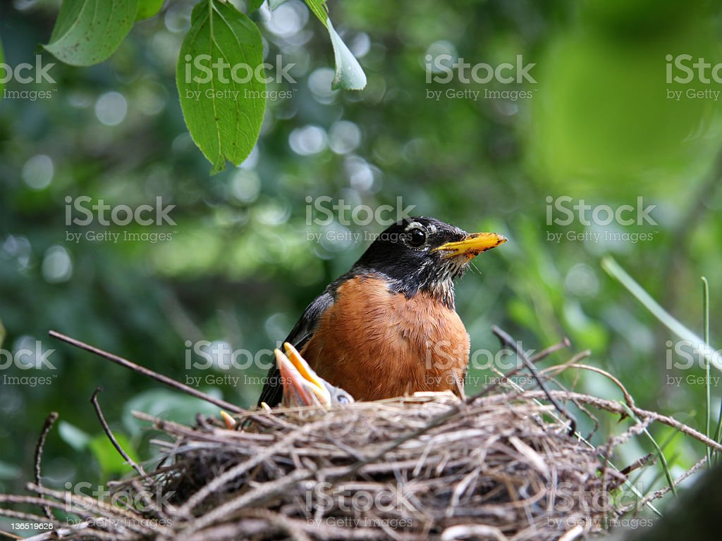 Robin guarding chicks stock photo