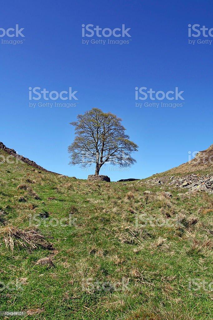 Robin Hoods Tree royalty-free stock photo