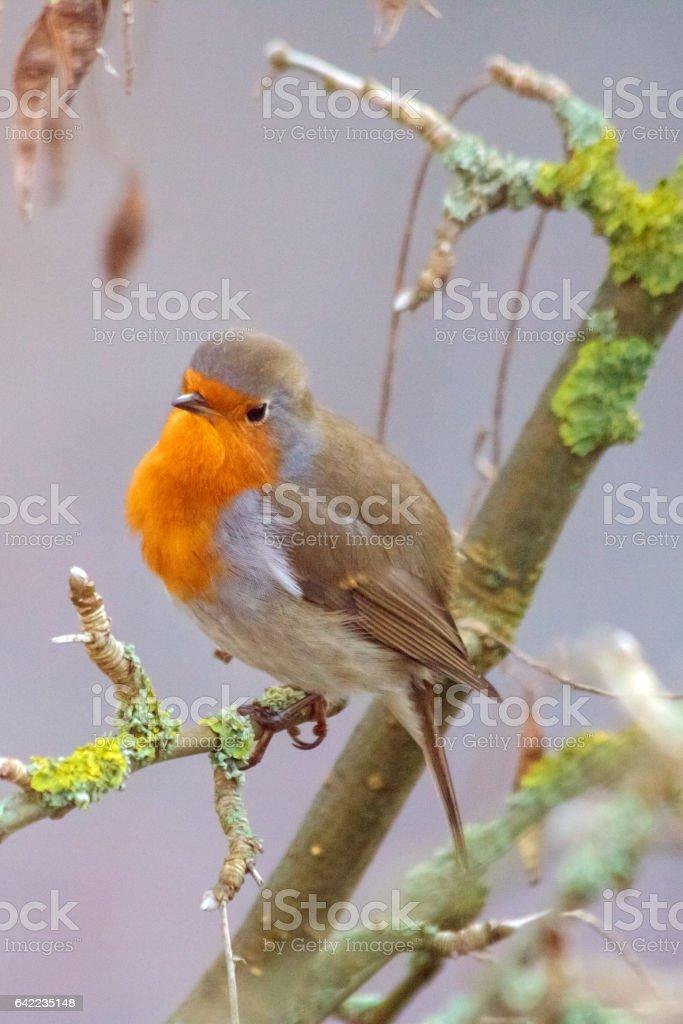 Robin in a bare laburnum tree with lichens stock photo