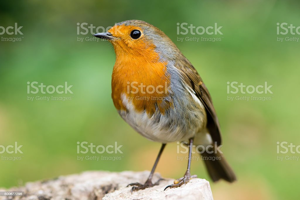 Robin (Erithacus rubecula) in profile with striking orange breast stock photo