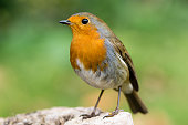 Robin (Erithacus rubecula) in profile with striking orange breast