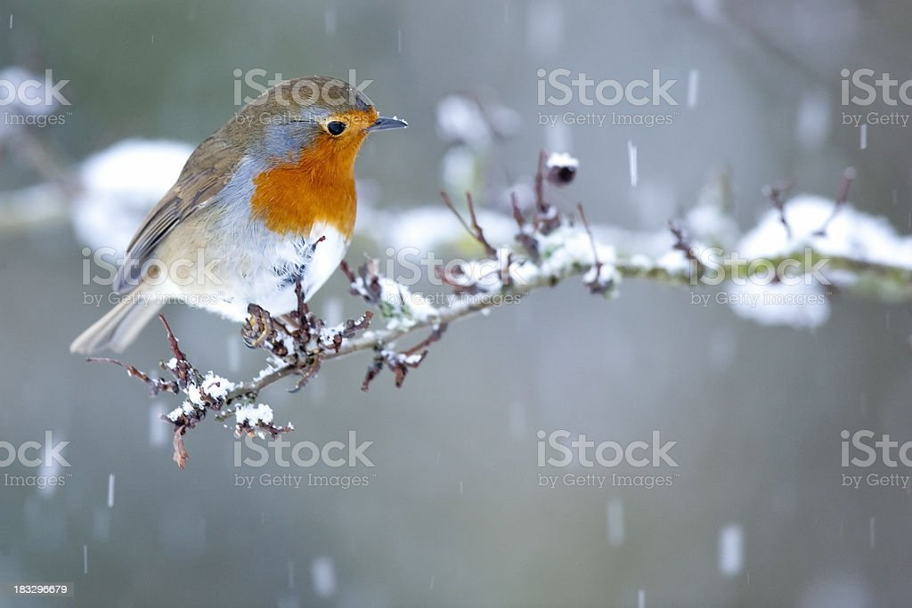 Robin in Snow Fall royalty-free stock photo