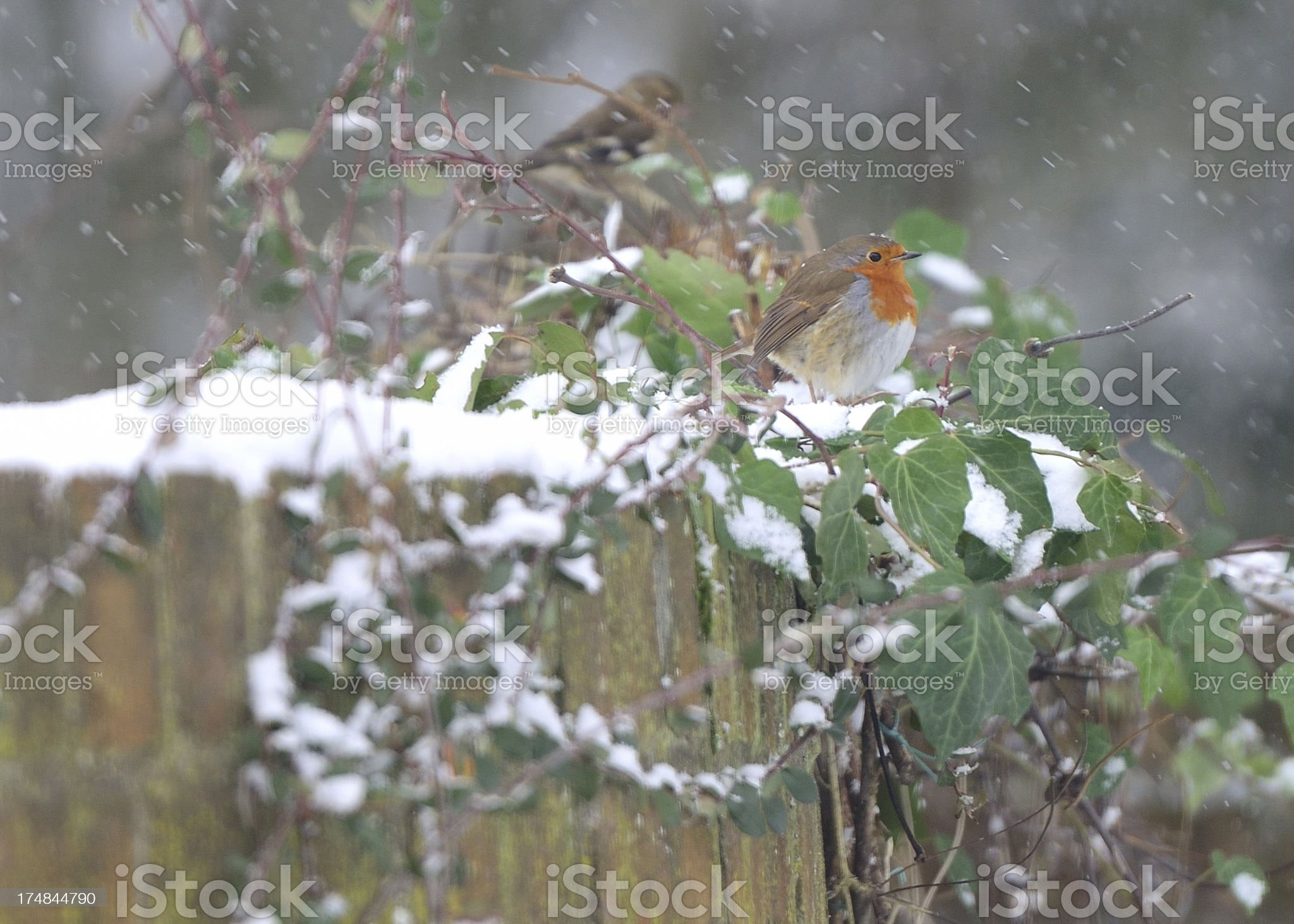 Robin in the snow. royalty-free stock photo