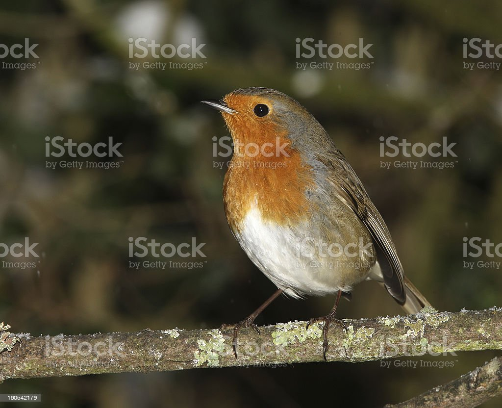 Robin in winter royalty-free stock photo