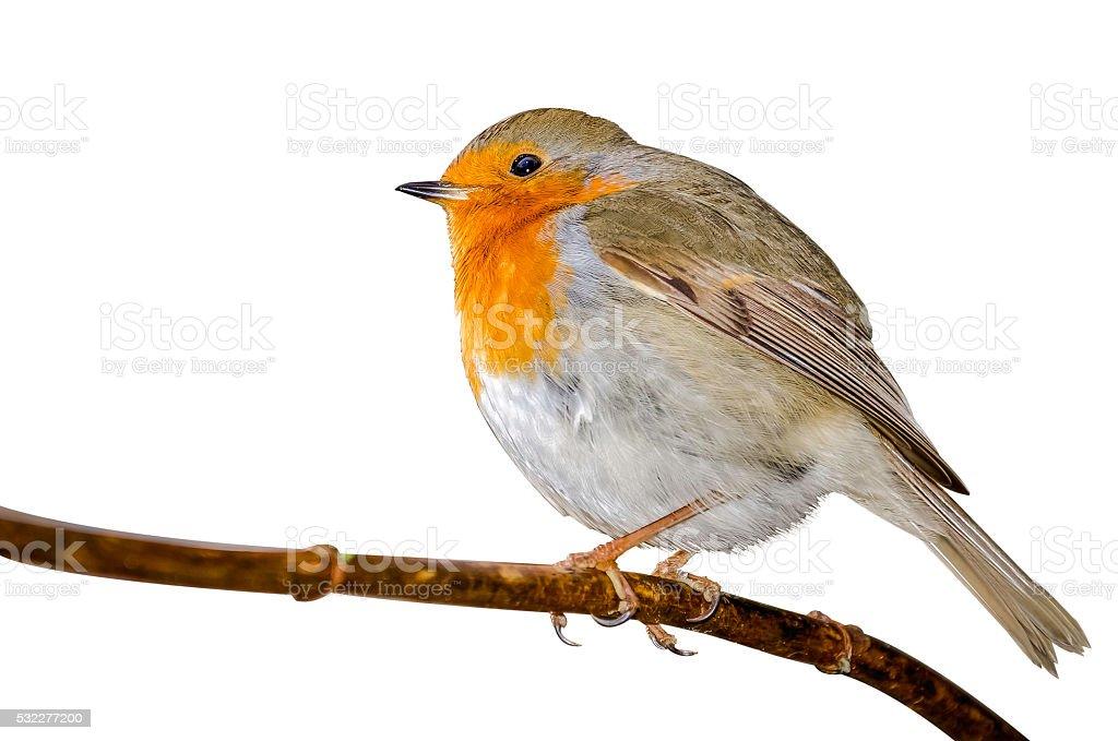 Robin (Erithacus rubecula) isolated on white background stock photo