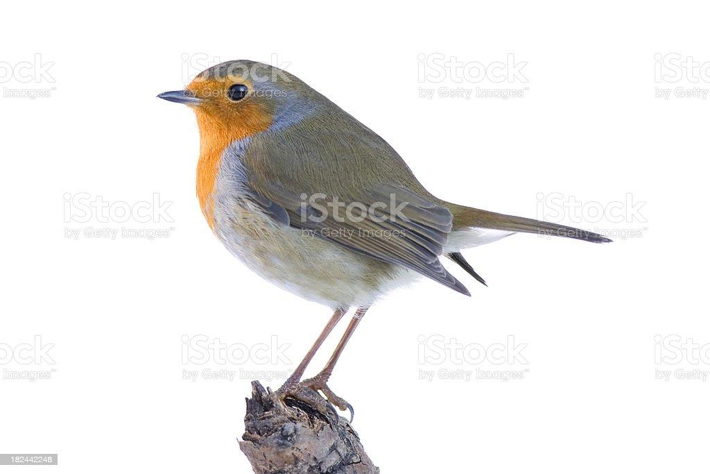Robin Isolated on White stock photo