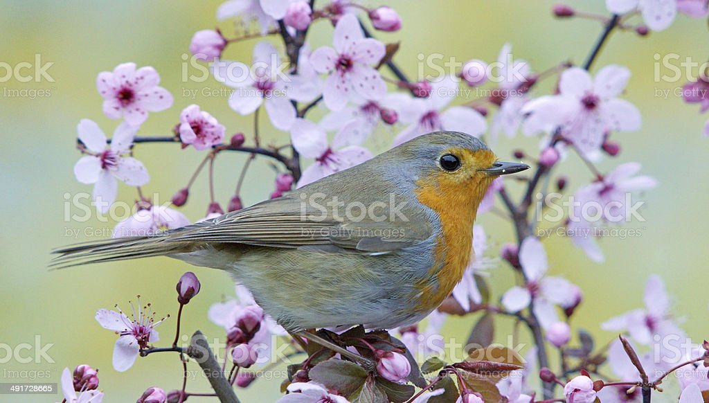 Robin on a blossoming twig stock photo
