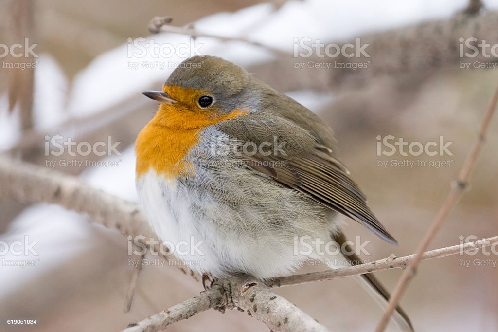 robin on a branch stock photo