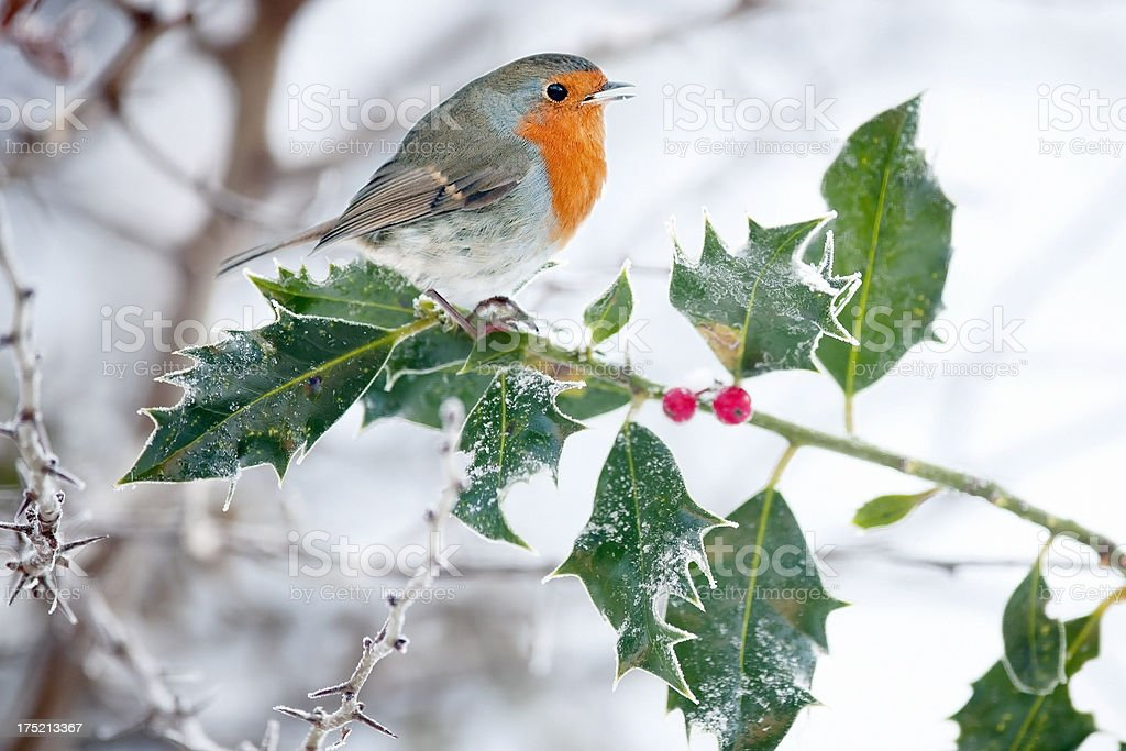 Robin (Erithacus rubecula) on a Frosty Holly Bush stock photo