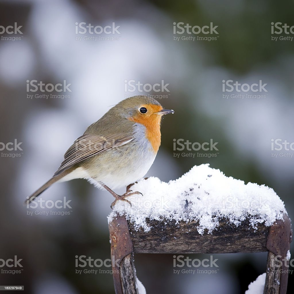 Robin on a Handle stock photo