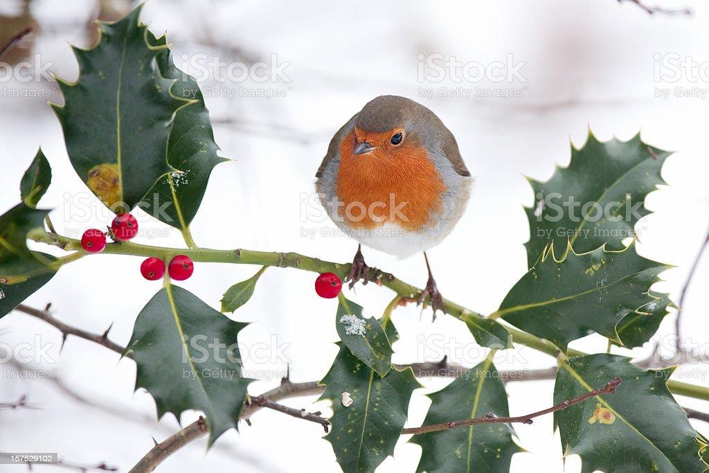 Robin on a Holly Bush royalty-free stock photo