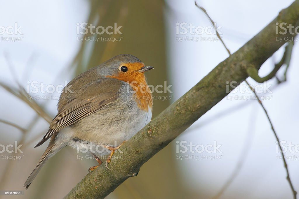 Robin on a tree (Erithacus rubecula) royalty-free stock photo